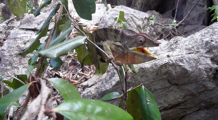 Madagaskar, Chamäleon