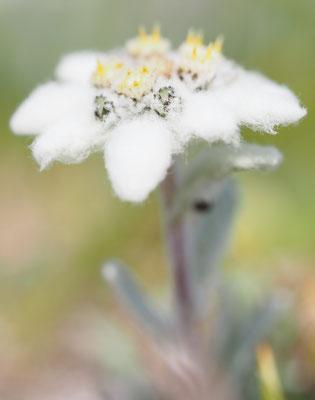 Alpen-Edelweiß, leontopodium nivale