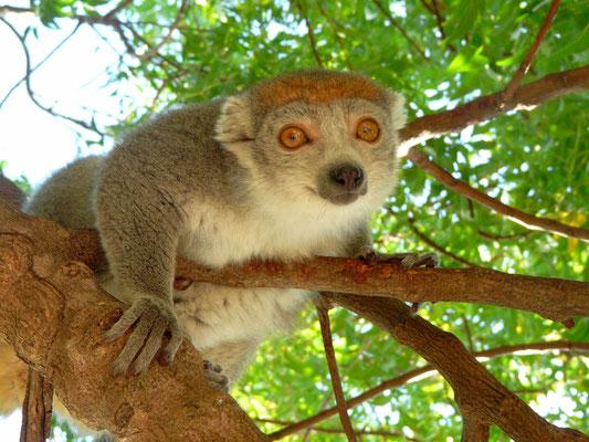 Madagaskar, Kronenmaki