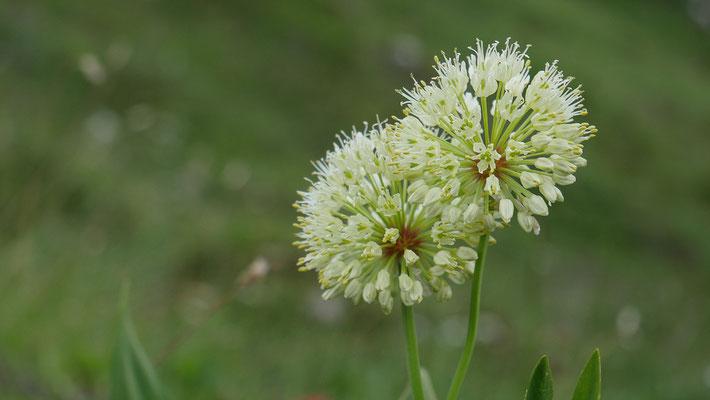 Italien, Allermannsharnisch, allium victorialis