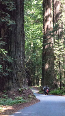 avenue of the giants, humboldt state park, california