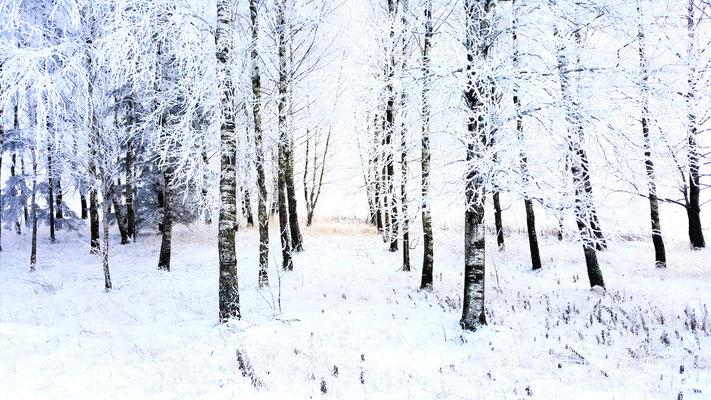 Winter Trees, Ezere Pagasts, Latvia
