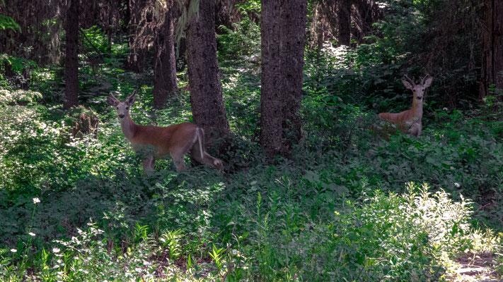 deer in glacier national park, montana