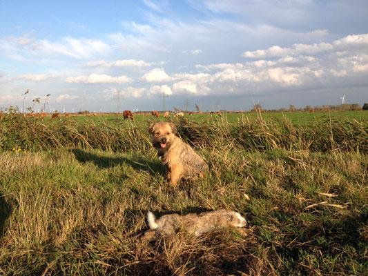 Kaninchenjagd  - Ostfriesland, Oktober 2013