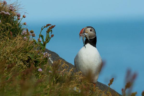 Foto: Markus Buess...Island Papageientaucher