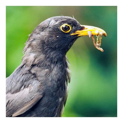 16 Balmer Pascal - Blackbird