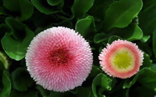 Springflower / Spring Sabine