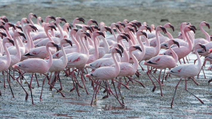 Buess Markus - Flamingo