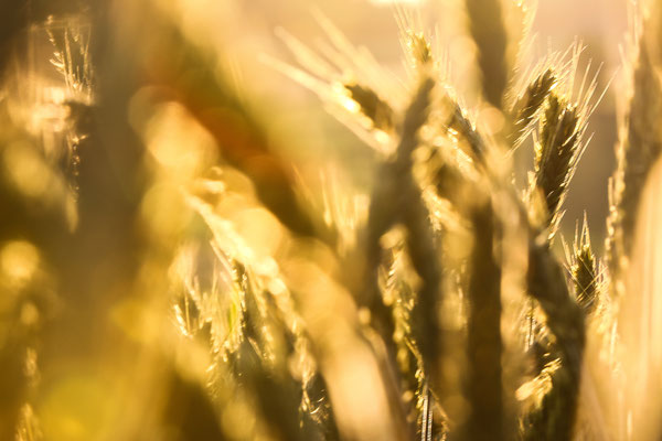 Abrunhosa Jaime - Le blé D'or