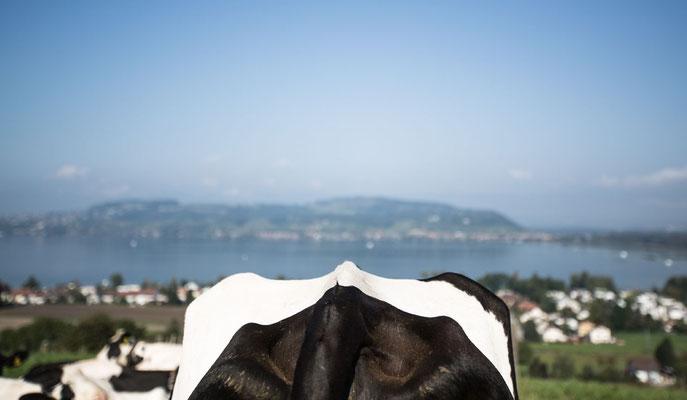 Hieringer Rolf / Murtensee mit Kuh