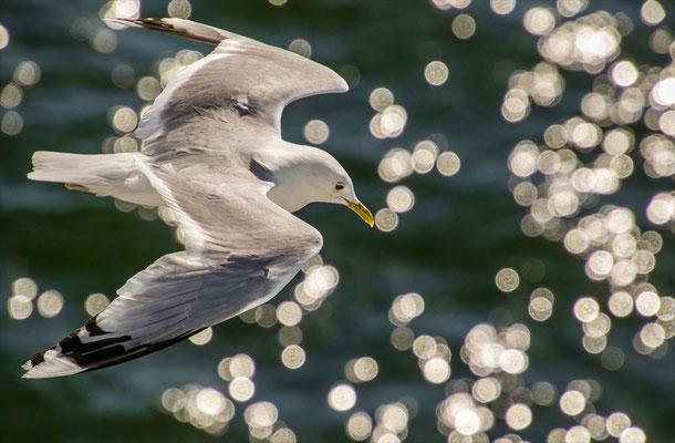 02 Piller Willi - Sailing seagull