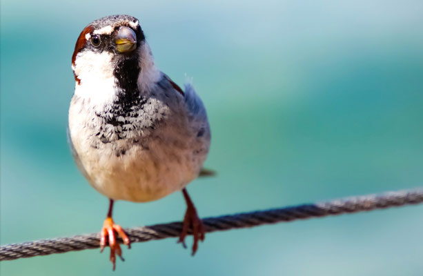 04 Piller Willi - Bird on a wire