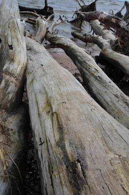 Angespülte Baumstämme am Kap Kolka Lettland