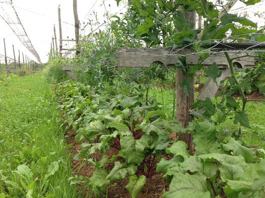 Randen, Tomaten, Luzerne