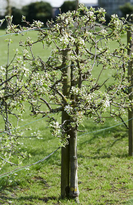 tollwasblumenmachen - Apfelbaum