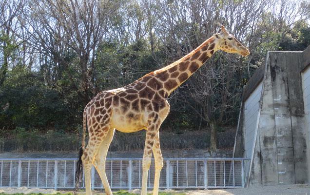 Giraffe キリン