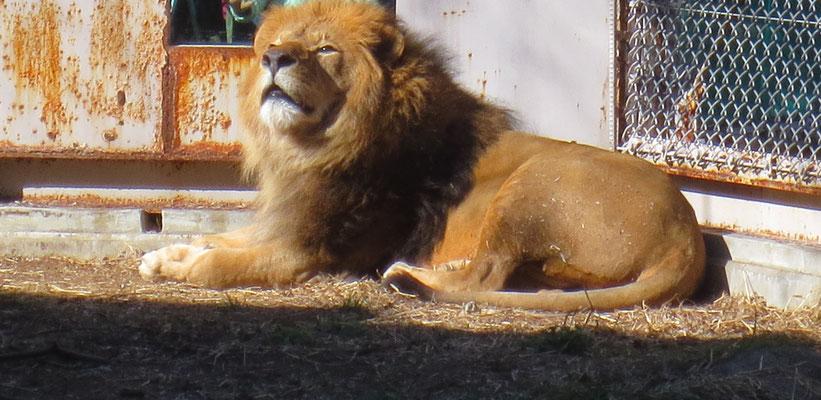 Lion ライオン