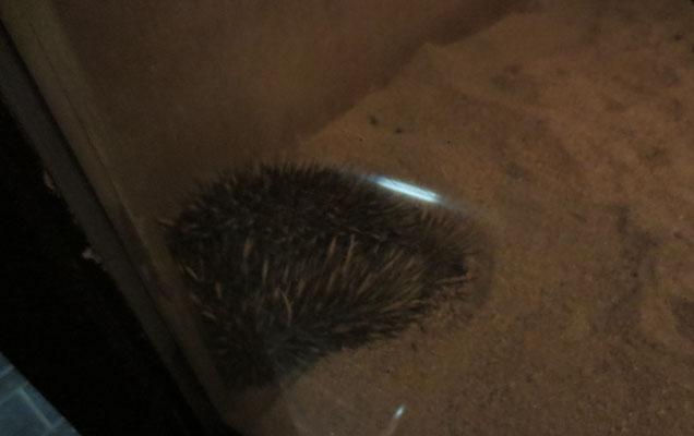 Hedgehog ハリネズミ