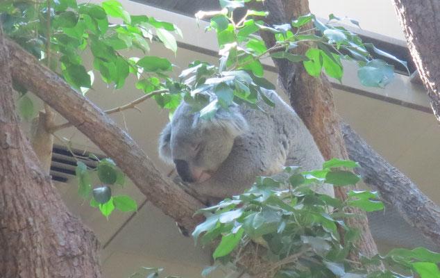 Koala コアラ