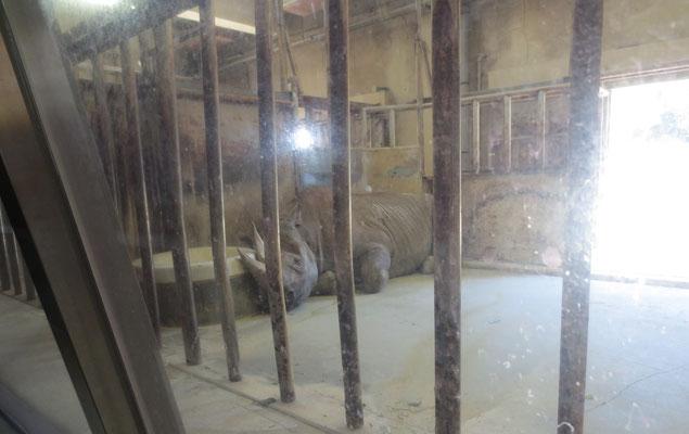 Rhinoceros サイ