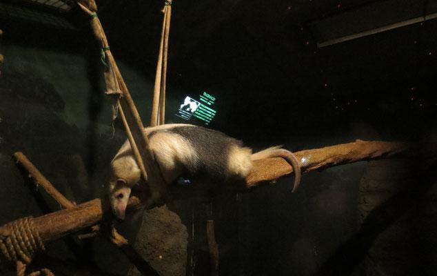 Anteater アリクイ