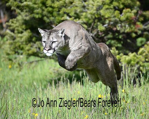 On The Hunt - Captive Animal, Montana