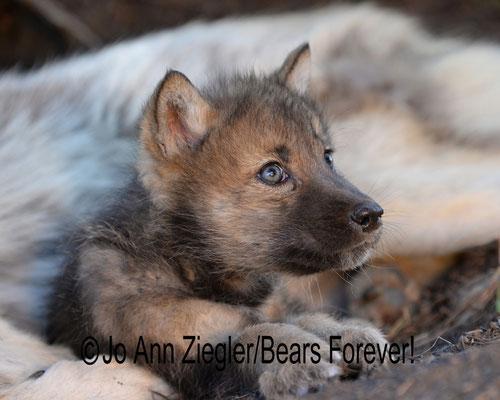 Innocence! - Captive Animal, Montana
