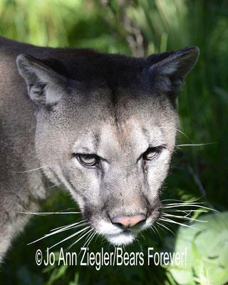 Distracted - Captive Animal, Montana