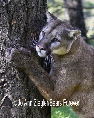 Cougar Supreme  - Captive Animal, Montana