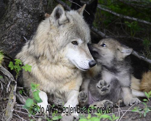 Whispers! - Captive Animal, Montana