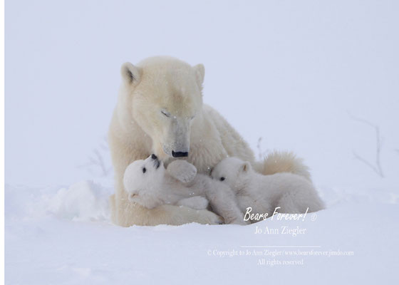 A Taste of Mom - Wapusk National  Park, Manitoba, Canada