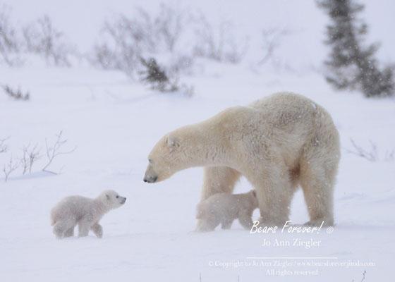 Unspoken Love - Wapusk National  Park, Manitoba, Canada