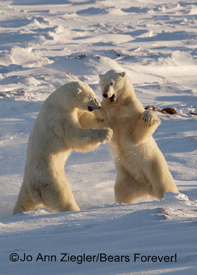 Just Sparring - Wapusk National Park, Manitoba, Canada