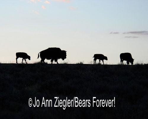 Early Morning Buffalo - Central Wyoming