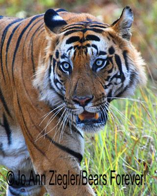 Magnificent and Awe-inspiring! - Bandhavgarh National Park, India