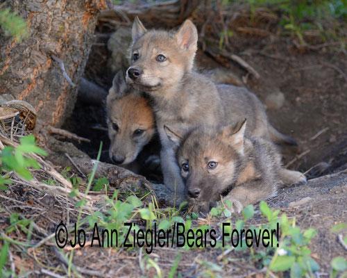 The Wolf Gang - Captive Animal, Montana