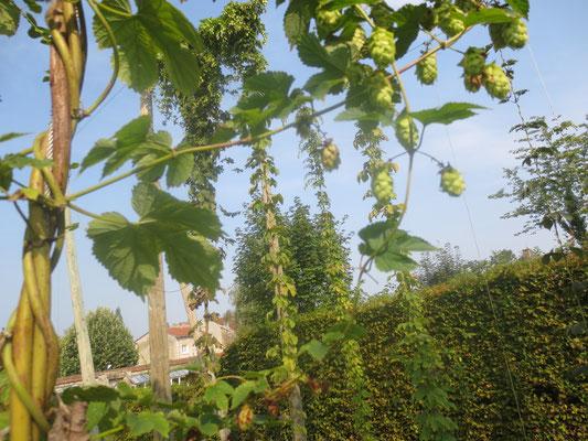 Musée de la bière : le houblon du jardin