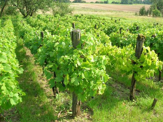 La vigne de Murvaux, vestige des vignes d'antan  ; si vous alliez visiter la maison vigneronne ?