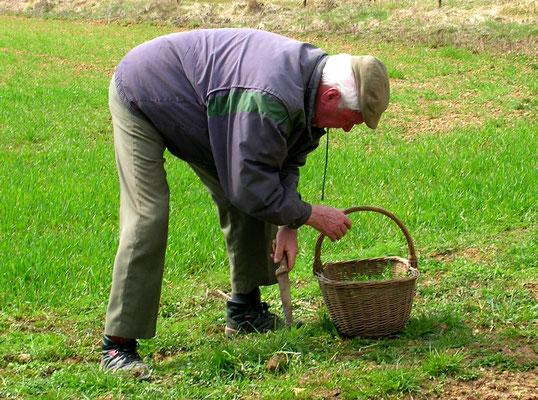 En mars, on s'en va cueillir de plein paniers de pissenlits pour faire la salade au lard
