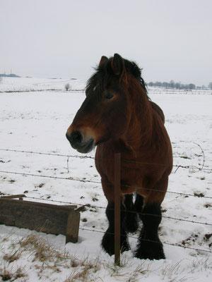 Le cheval ardennais est un cheval rustique