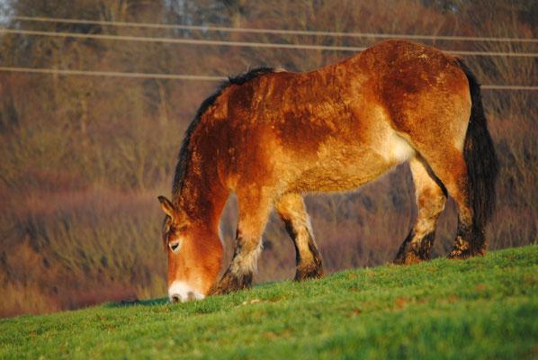 Le cheval ardennais saura vous séduire