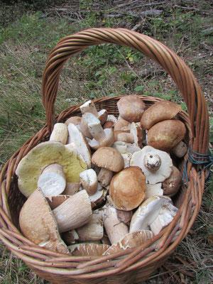Les champignons abondent dans les forêts du territoire