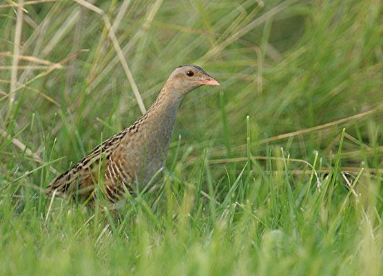 Dans la zone Natura 2000, encore une espèce protégée