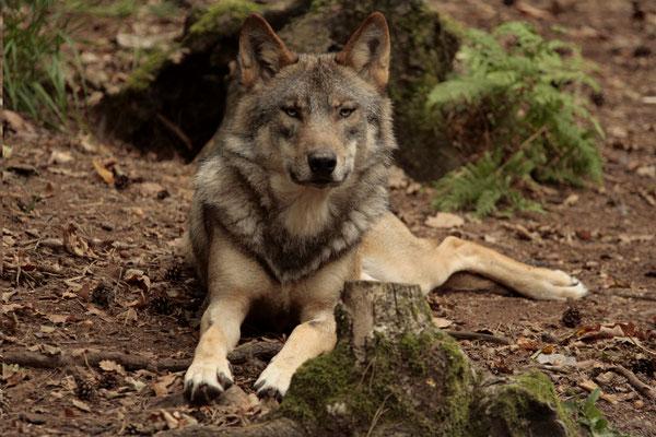 Pour être certain de voir un loup, mieux vaut aller faire un tour au parc animalier !