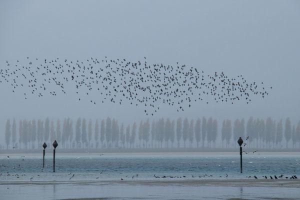 Ein Entenschwarm in Nieselregen über der Weite des Ermatingerbecken, 24. 10. 2014  Pegel 275