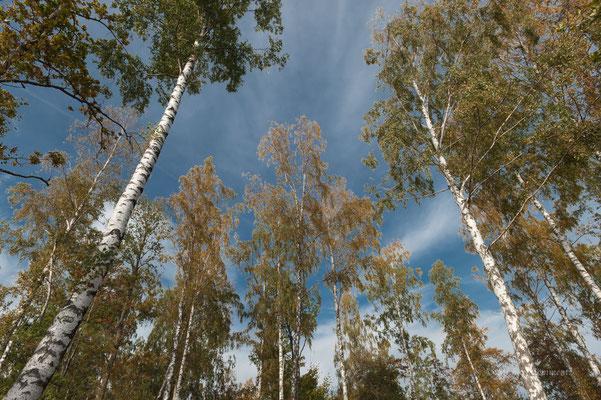 Birkenwald in Småland