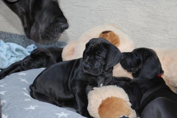 Deutsche Dogge Welpe