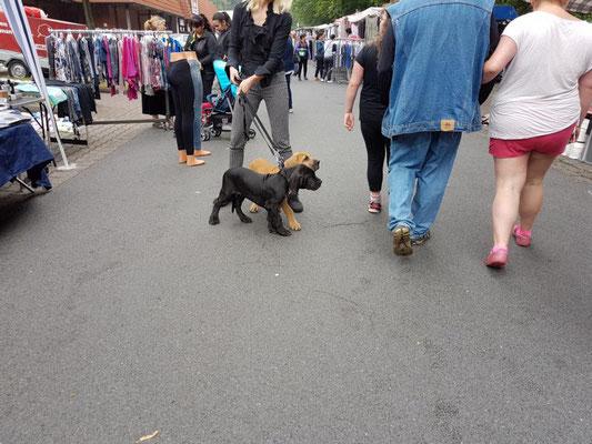 Deutsche Doggen Welpen