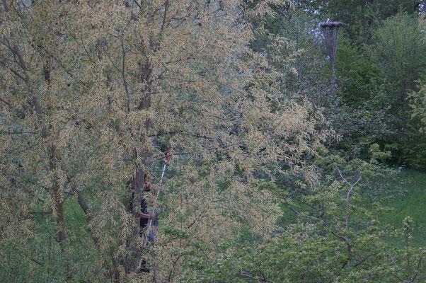 Dick zaagt een paar takken uit de bomen die het zicht op het nest belemmeren