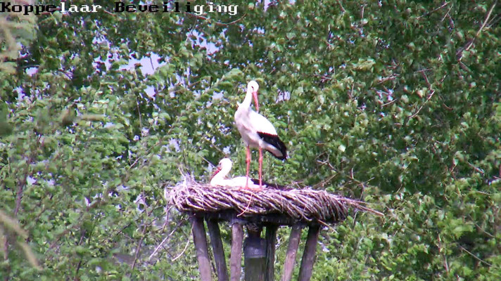 De ooievaars zijn in beeld via de webcam. Prachtig!